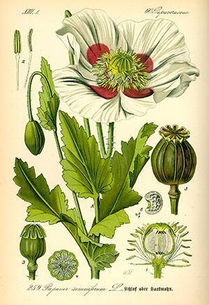 Papaver Somniferum Cultivars