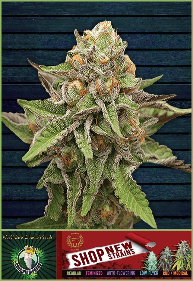 Buy Gelato Feminized Cannabis Seeds