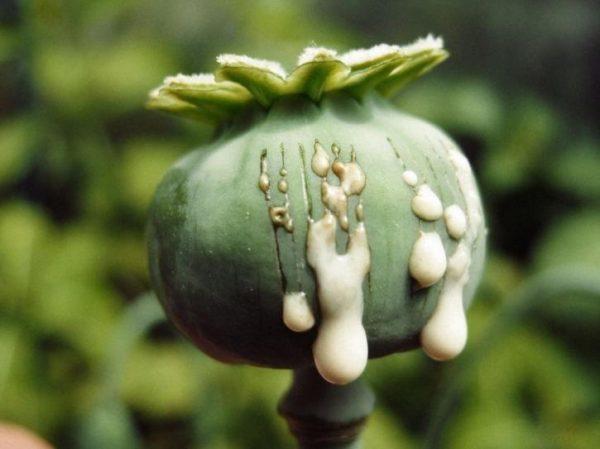 Poppy Opium Latex