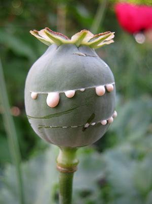 Opium Producing Poppy