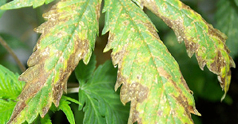 Cannabis Potassium Deficiency