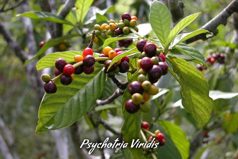 Psychotria Viridis Leaves & Fruit