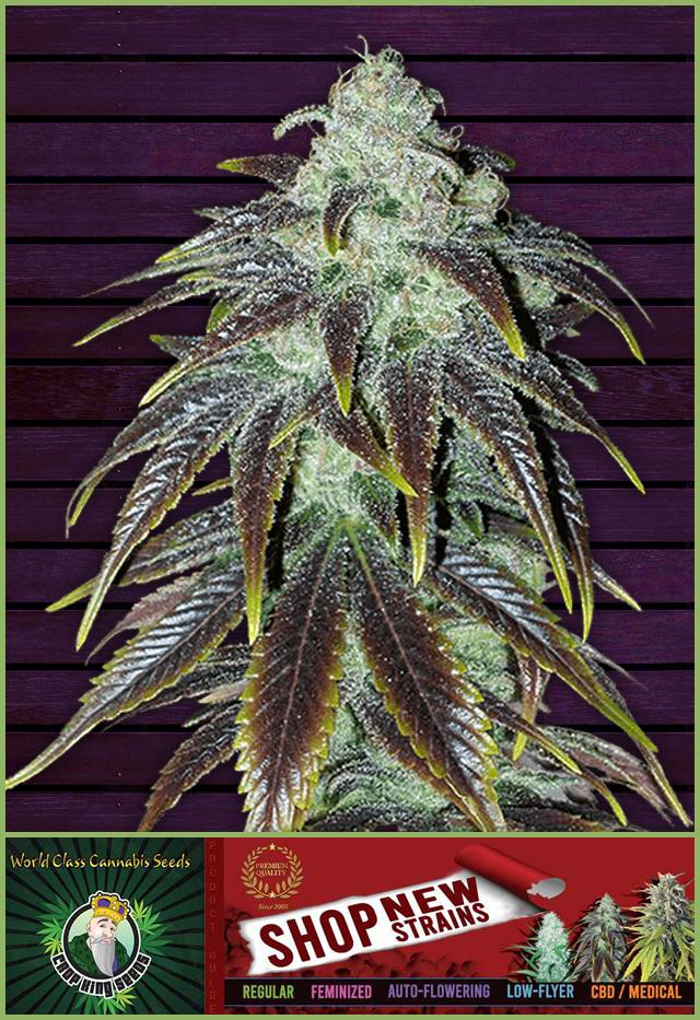 Buy Sour Jack Feminized Cannabis Seeds