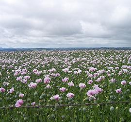 Tasmania Poppy Field