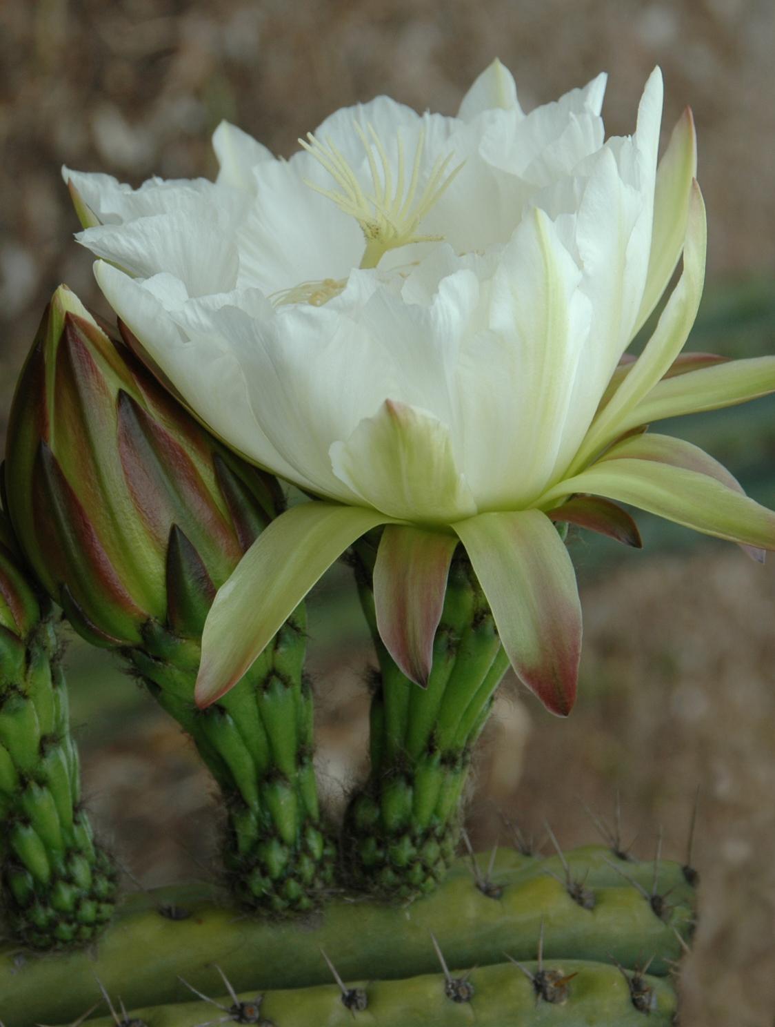 Trichocereus Peruvianus Flower