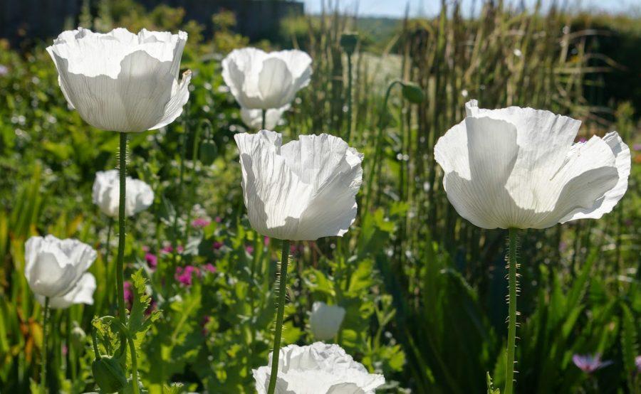 Peshawar White Poppies