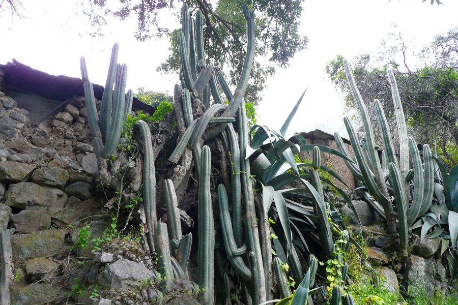 Wild Trichocereus Cacti